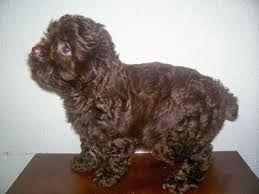Google Image Result For Http Breedersclub Net Classifieds Files Item 23145 2 Jpg Cockapoo Puppies Cockapoo Puppy Schedule