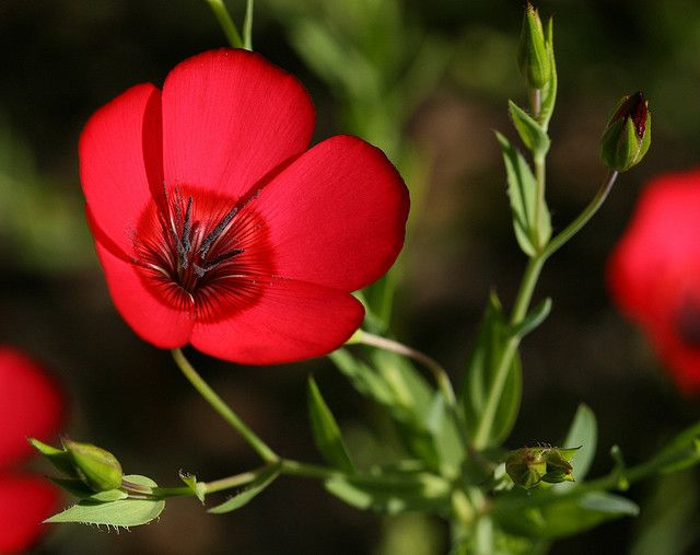 Scarlet Flax, shot by Philip Bouchard. #flowers, #photography