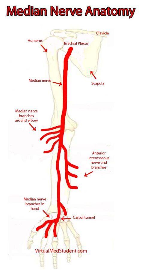Virtualmedstudent Median Nerve Occupational Therapy