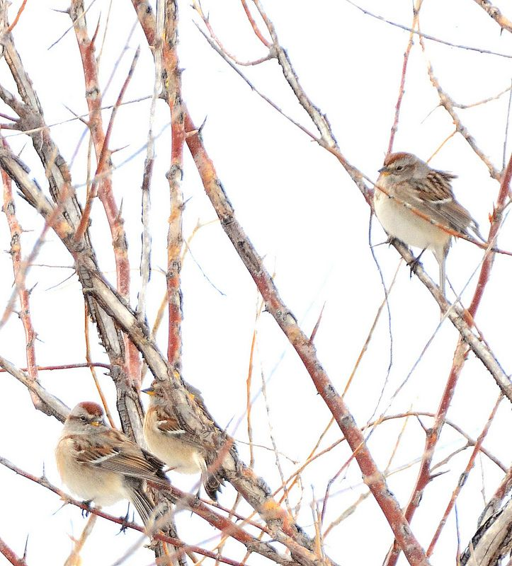 American Tree Sparrows - Kit Carson County, CO - April 2013 | by SteveMlodinow