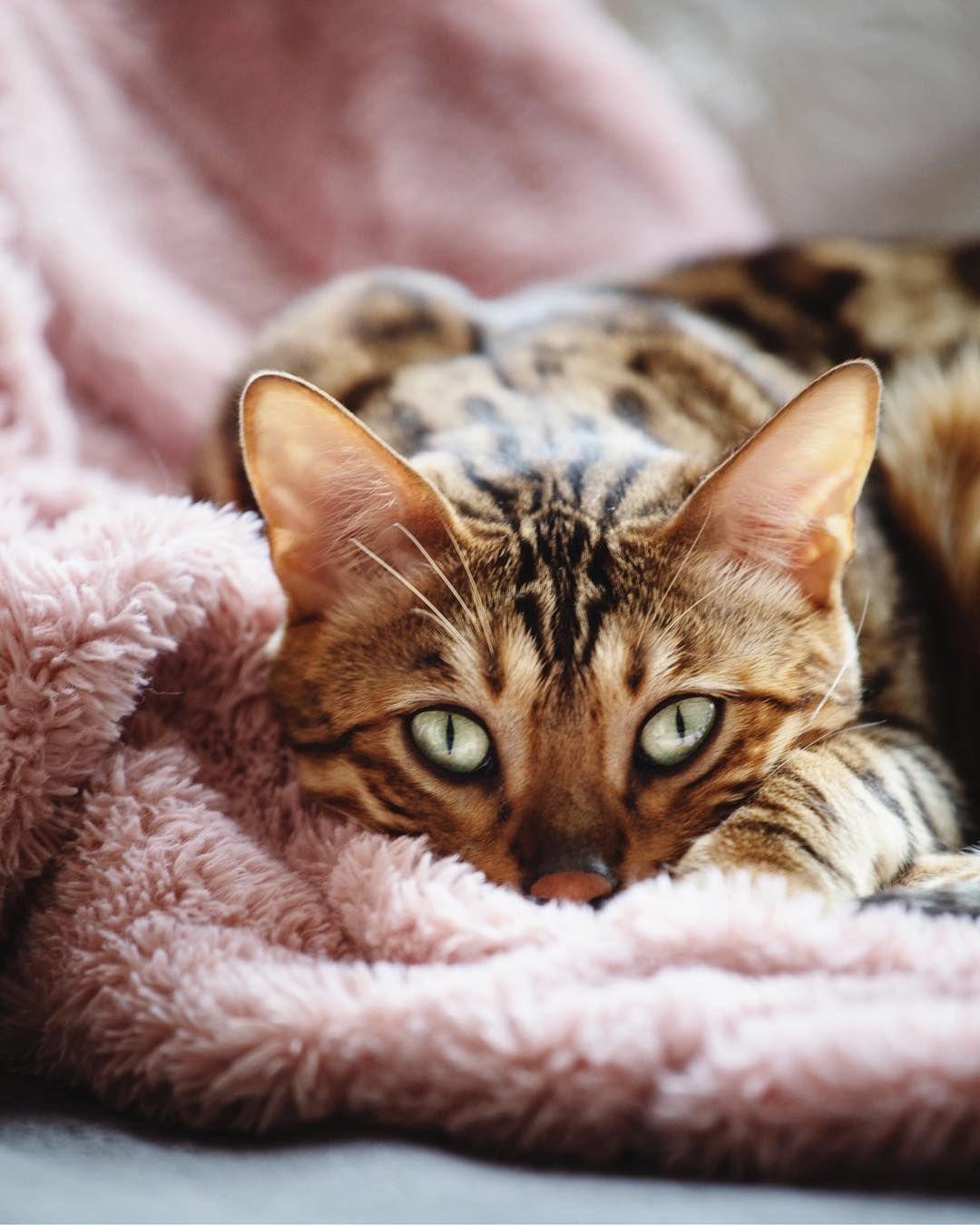 Bengal Cat Pet Photography Regram Via Bambiandmilo Cat Anatomy Cute Cats And Kittens Bengal Cat