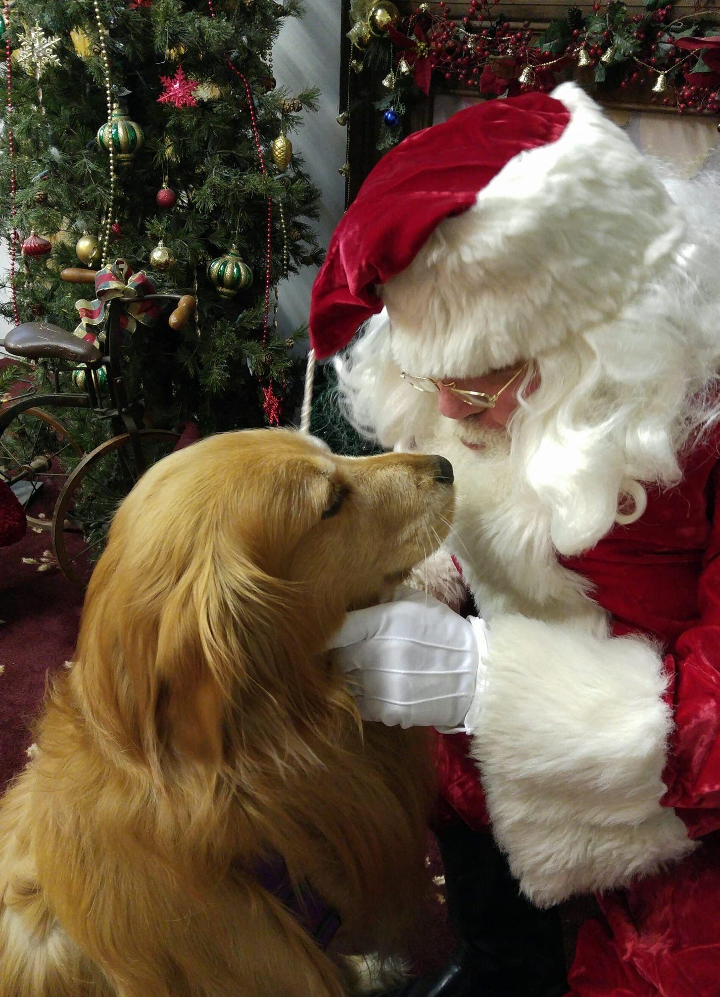 Sweet Golden Retriever And Santa Claus Christmas Puppy