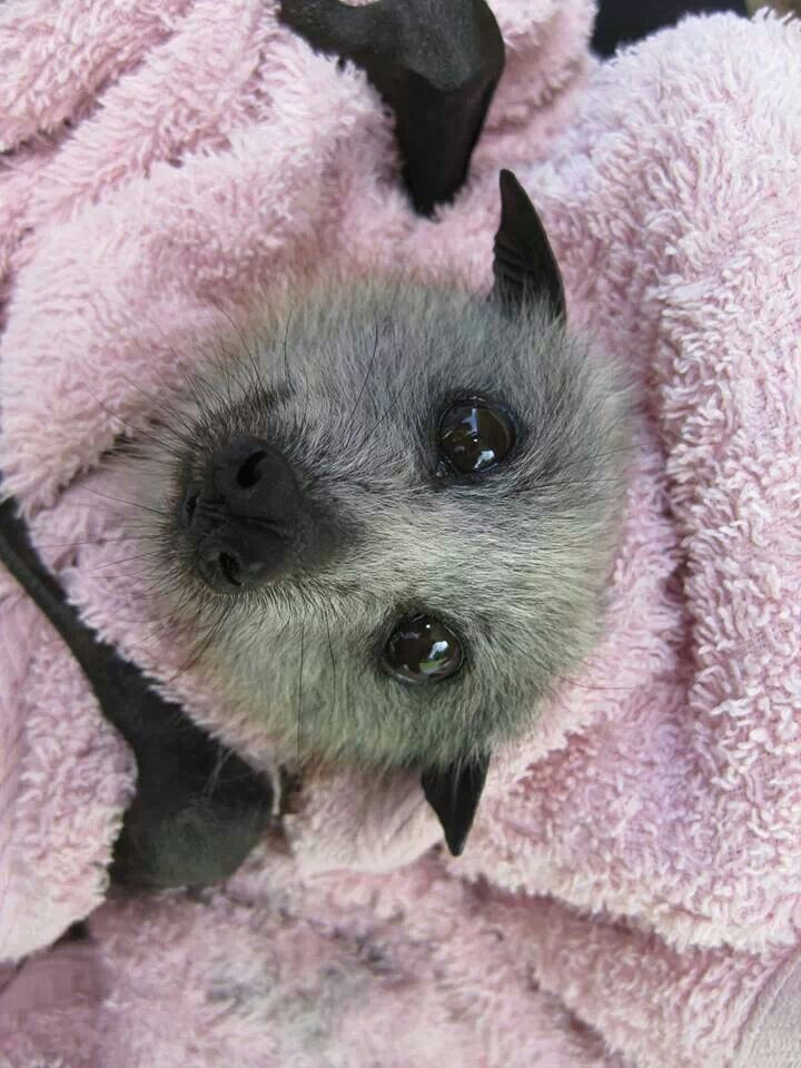 Gorgeous Gray Flying Fox about to be free!