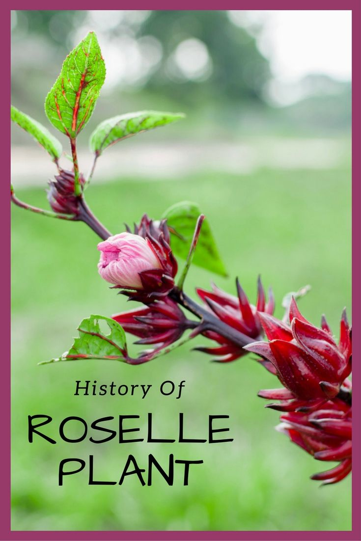 History of roselle plant plants gardens and hibiscus flowers by teo spengler everybody wants to claim a winner as their own rosellehibiscus izmirmasajfo