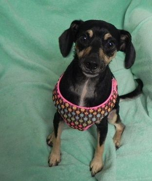 Adopt Roxy Cuddle Bug On Cuddling Paws Rescue Dogs