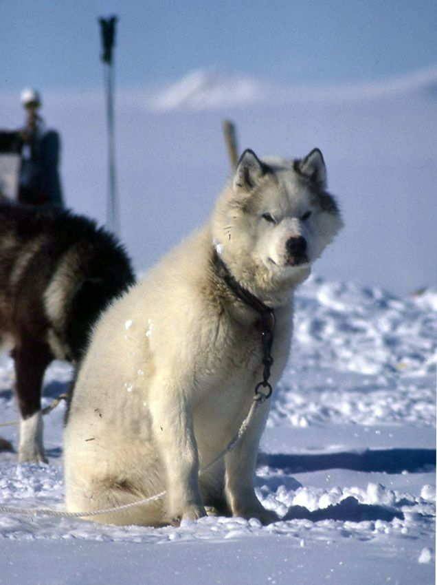Tuva Antarctic Husky Husky Dogs Antarctic