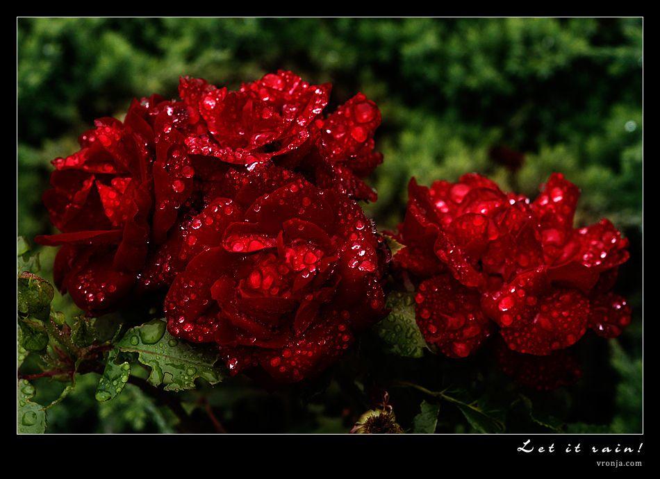 صور ازهار حمراء ورد جوري احمر وابيض للخلفيات اجمل صور الجوري الحمراء Rose Raspberry Fruit
