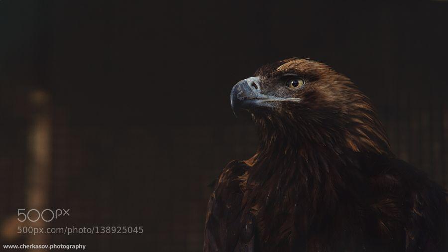 Steppe eagle by xmlss via http://ift.tt/1PYZr6p