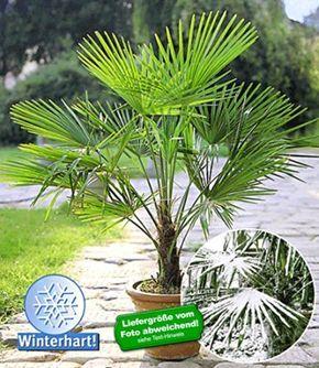 Baldur Garten Winterharte Kubel Palmen 1 Pflanze Trachycarpus Fortunei Winterharte Pflanzen Garten Pflanzen Winterharte Pflanzen