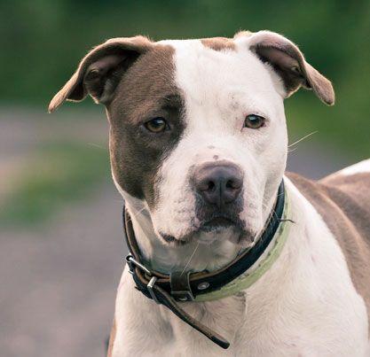 American Pitbull Terrier Dog Breeds Pitbull Terrier Staffy Dog