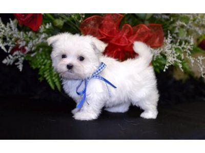 Tea Cup Top Best Maltese Pupies For Sale Text Me Via 205 719 0196 Baby Animals Cute Puppies Puppy Pictures