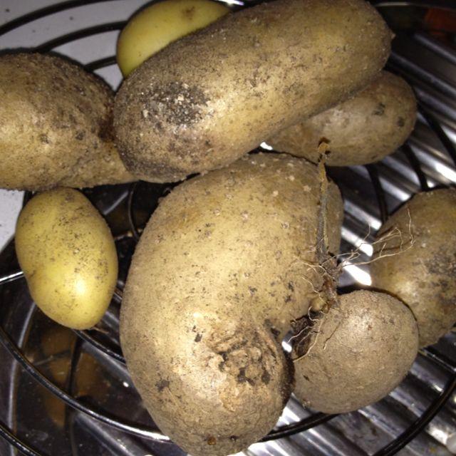 Cosecha de patatas