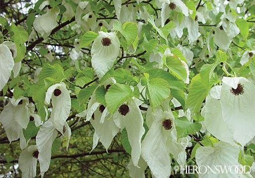 Davidia Involucrata Sonoma Tree