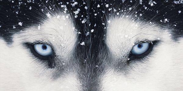 Absolutely Amazing Dog Photos From Tim Flach Dog Photos Husky