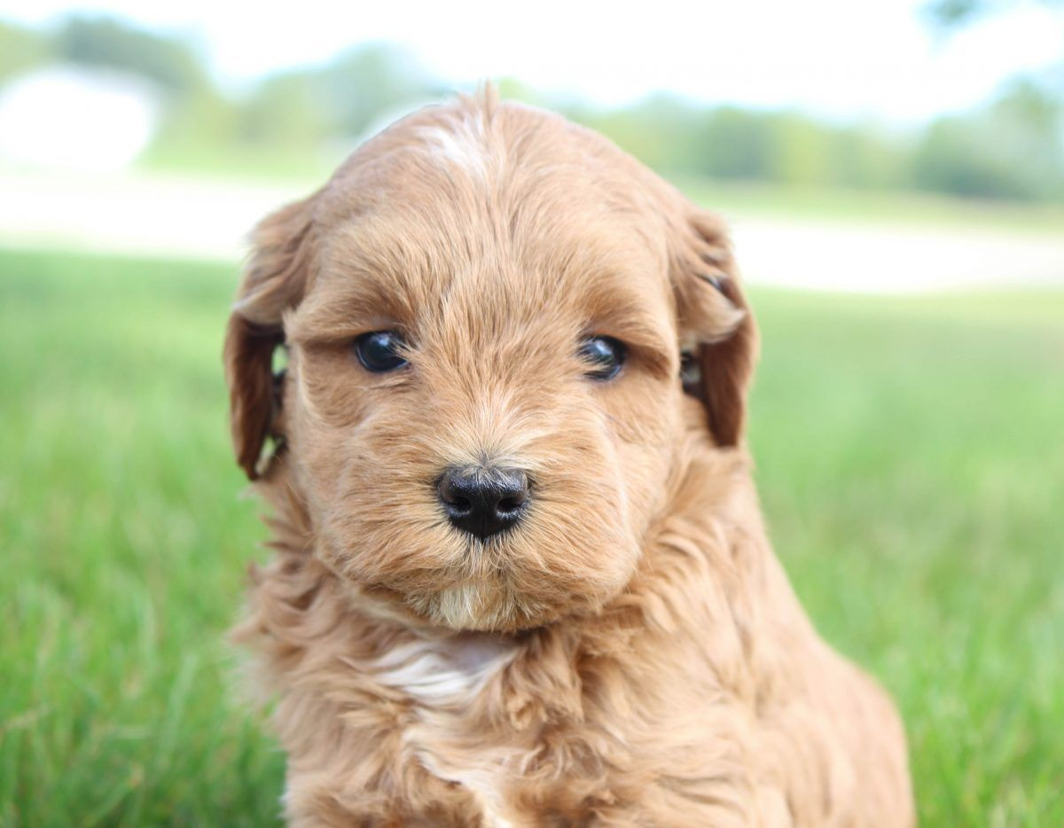Colette Female Cavapoo Puppy In Shipshewana Indiana For Sale