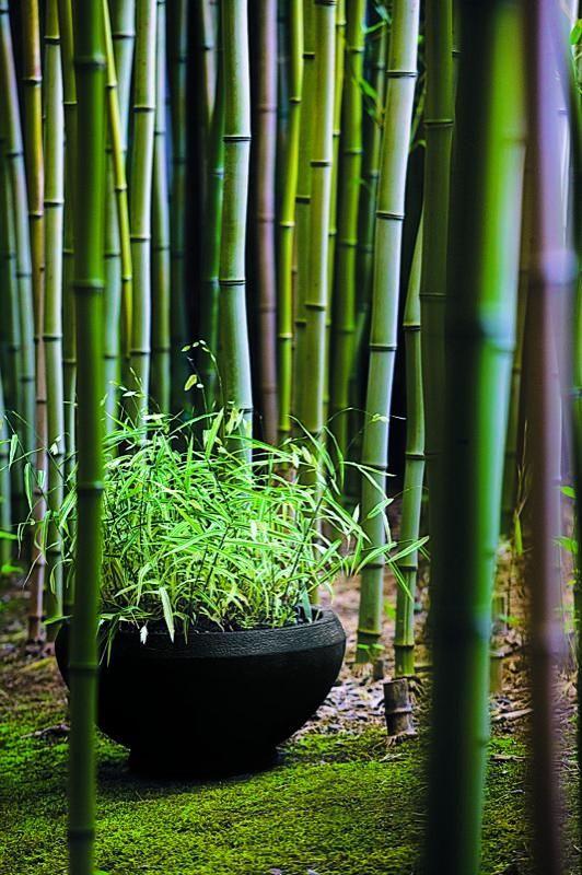 Pocas cosas son tan maravillosas como disfrutar de momentos en un bosque de bambu bambu - Jardin de bambu talavera ...