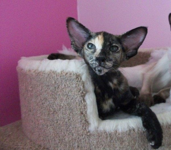 Oriental Cat Breed Profile - Cattylicious Cats & Kittens ...