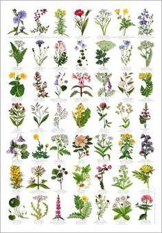 Bulb Flowering Plants Google Search Flower Identification Common Wildflowers Wild Flowers