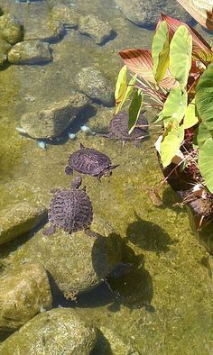 Pond With Turtles. Visit Our Page Here: Http://what Do · Koi PondsGarden  PondsBackyard ...
