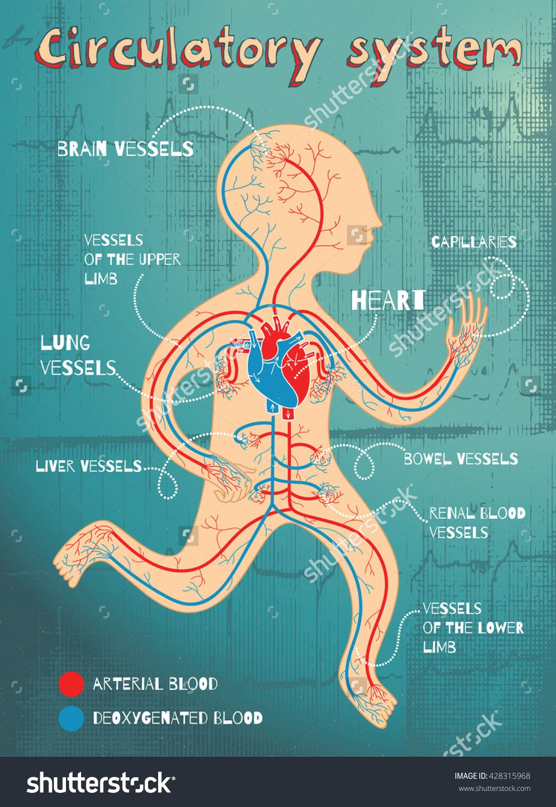 Human Circulatory System For Kids. Vector Color Cartoon Illustration ...