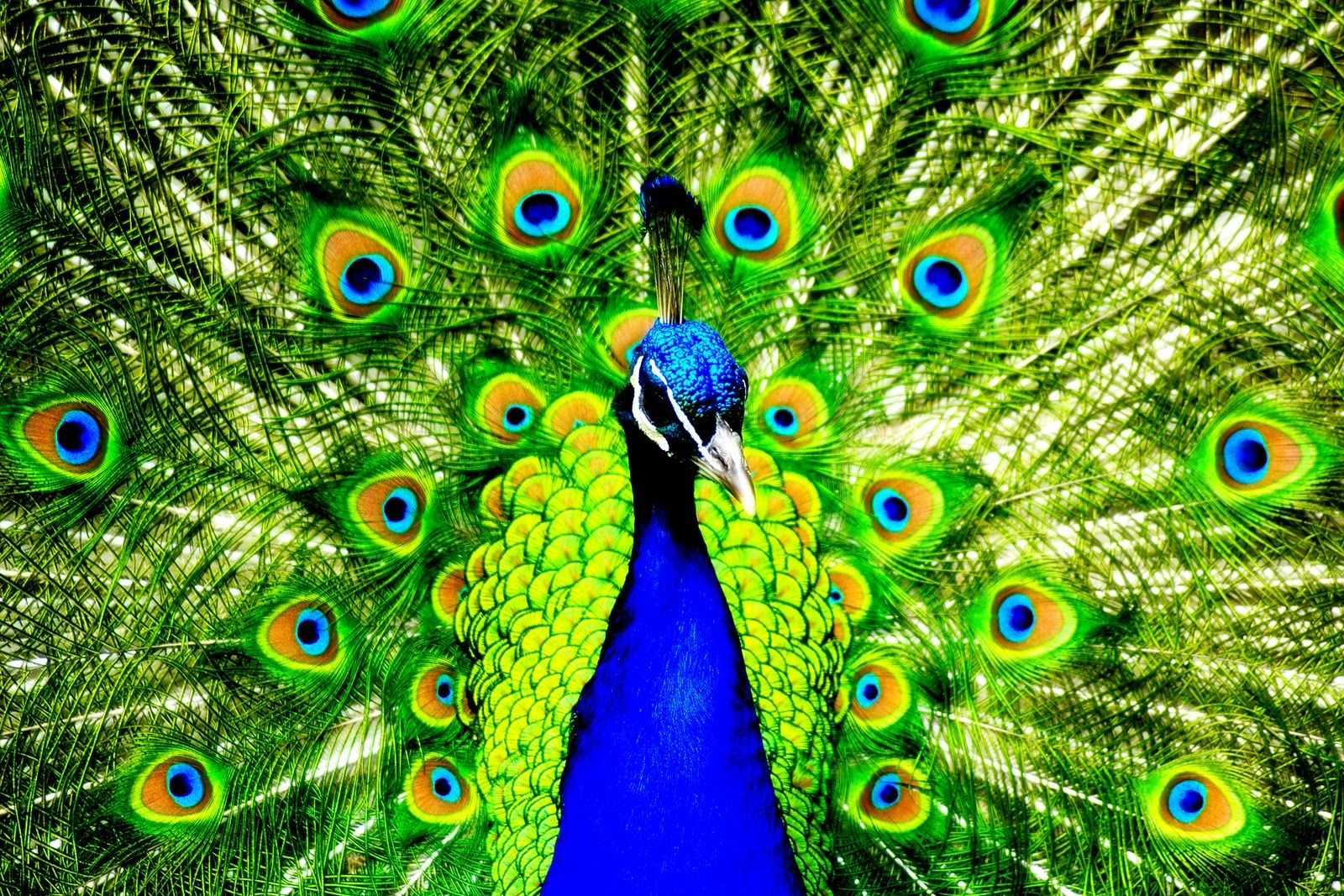 Stunning Peacock Colorful Photo Hd Wallpaper Desktop Background Peacock Pictures Peacock Images Peacock Wallpaper