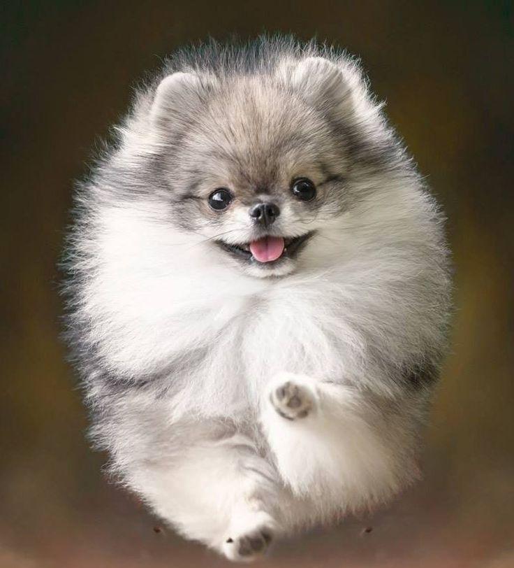 Pin By Edie Guidry Fleck On Pomeranian Puppy Pomeranian Puppy