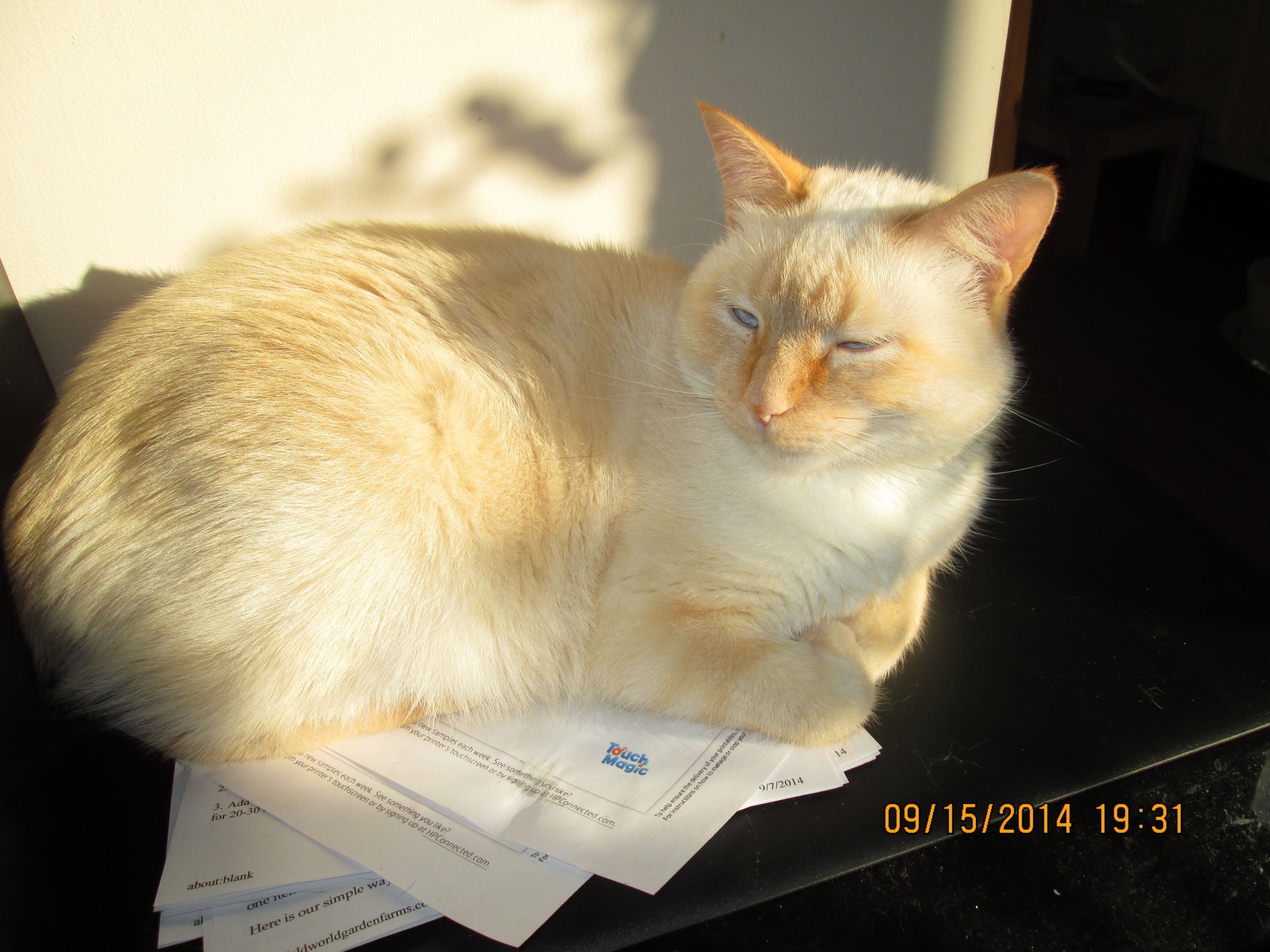 Appy 3 Years Old Flame Point Siamese Old Flame Siamese 3 Years Old