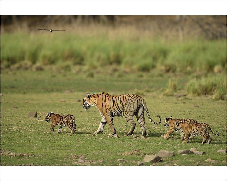 Print of Bengal Tigers Panthera tigris tigris, female