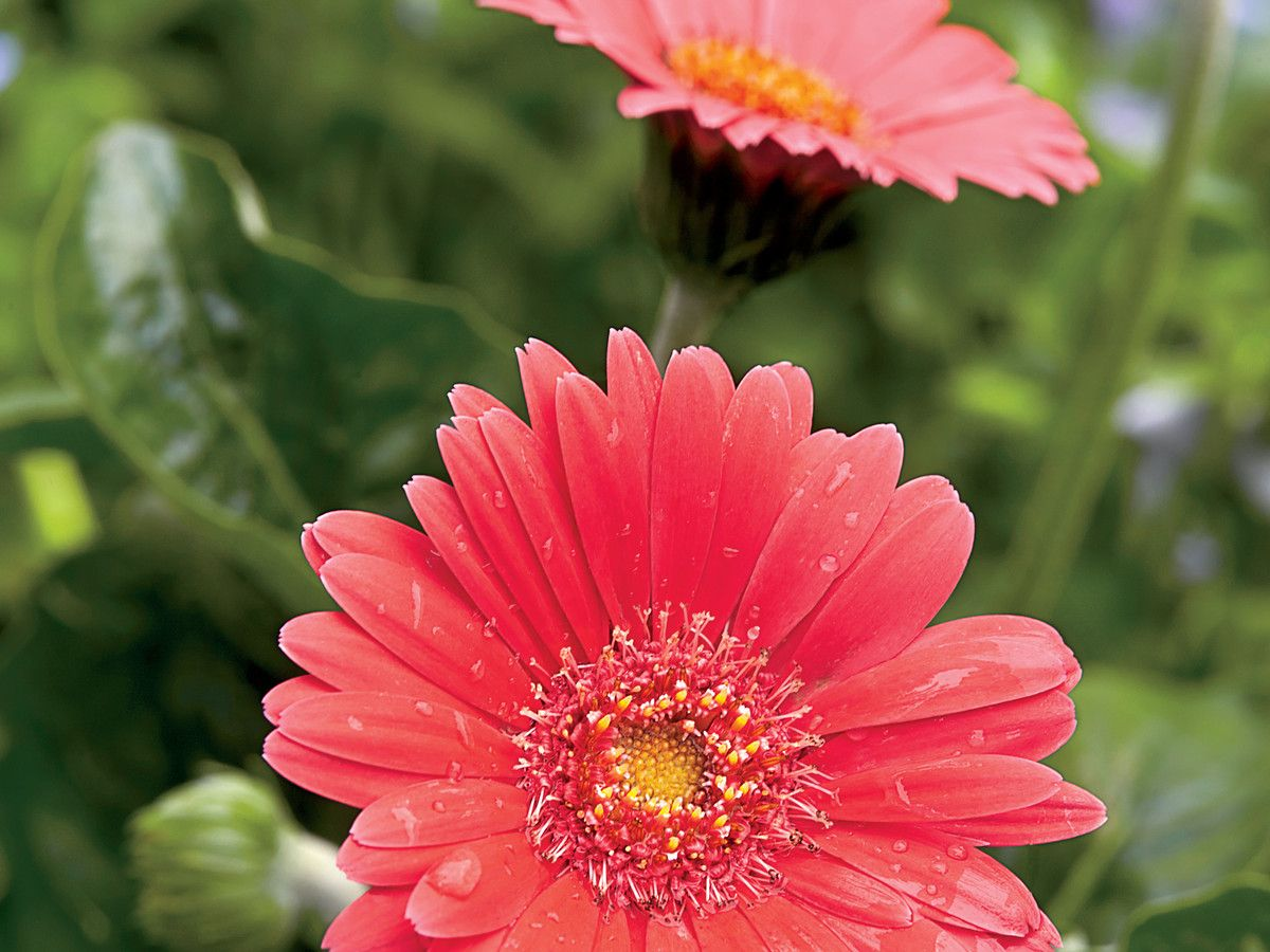 How To Care For Gerbera Daisies Daisy Bouquet Wedding Gerbera Daisy Diy Wedding Bouquet