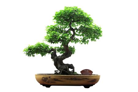 Pin By Fansareforamateurs On Anime Bonsai Tree Bonsai Tree
