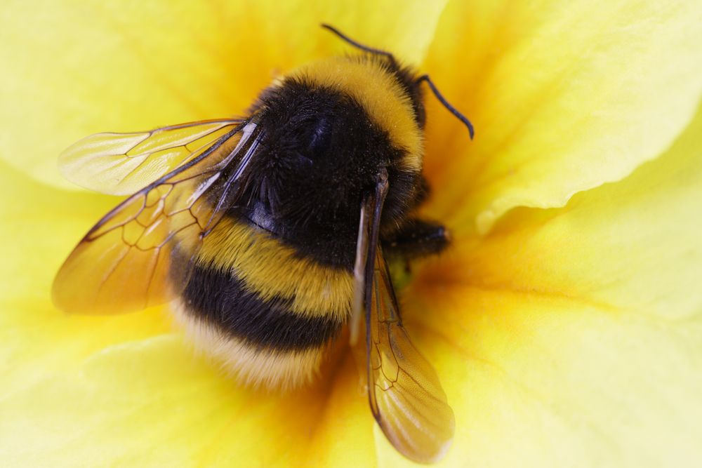 A Bumblebee Also Written Bumble Bee Is Any Member Of The Bee Genus