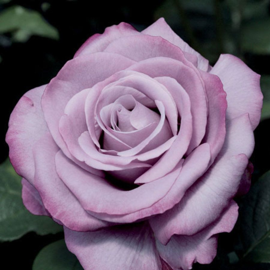 Rose Neptune Ultra Fragrant Blooms With An Unusual
