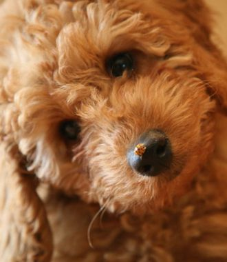 Hypoallergenic Australian Labradoodles Puppies For Sale In Iowa City Ia Labradoodle Puppies For Sale Miniature Australian Labradoodle