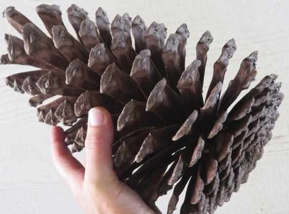 9 11 Jumbo Pine Cone Large Pine Cone Jumbo Pinecone Etsy Large Pine Cones Jumbo Pine Cones Pine Cones