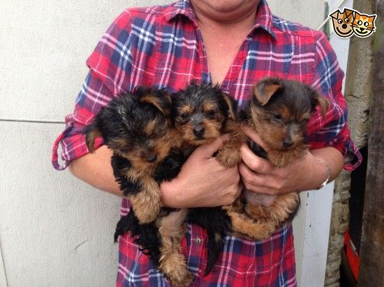 Yorkshire terrier puppies for sale ! Yorkshire terrier
