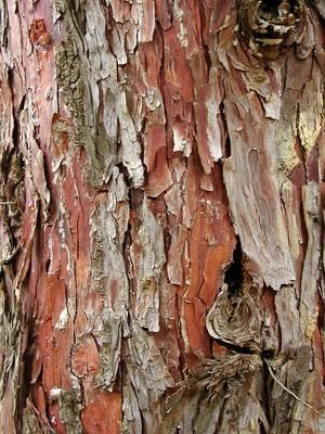 Inspired By Gum Tree Bark Tree Tattoo Tree Textures Tree Bark