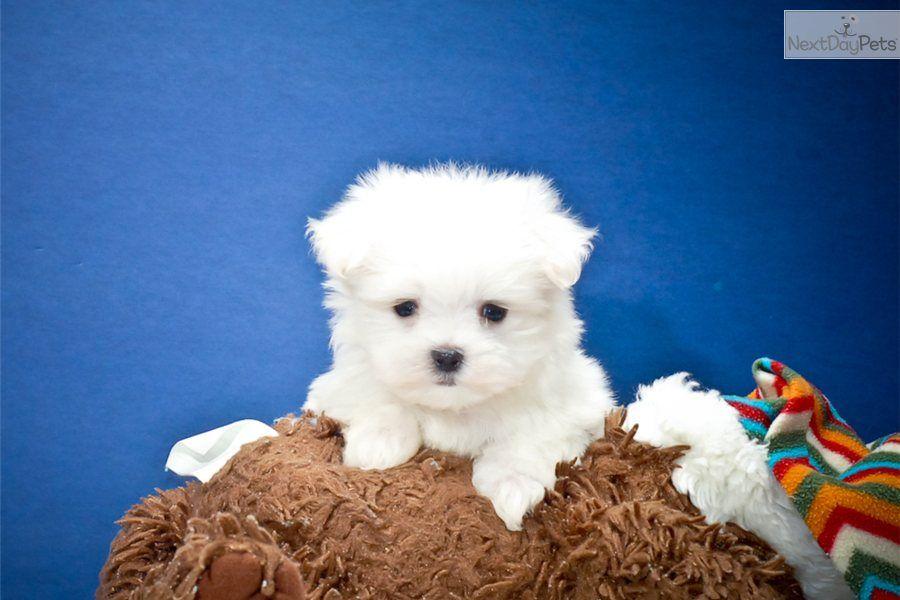 Maltese Puppy for Sale Teacup Sugar, WWW.AFFORDABLEPUP