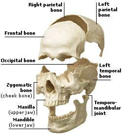 skeletal system | skeletal system | pinterest | skeletal system, Skeleton