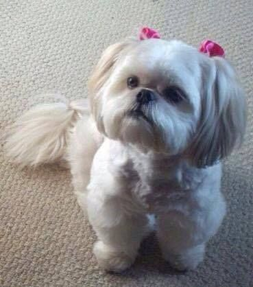 Facebook Shih Tzu Dogs Cute