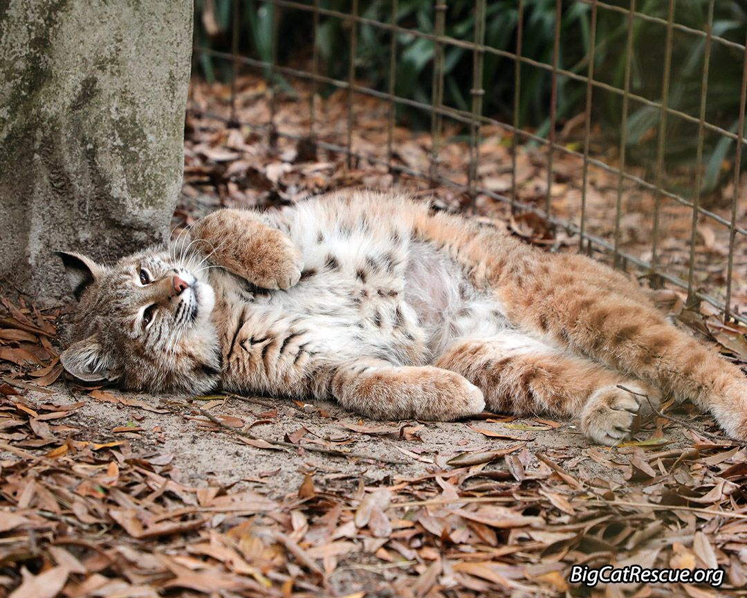 Smalls Bobcat is ready to snooze. Good night friends