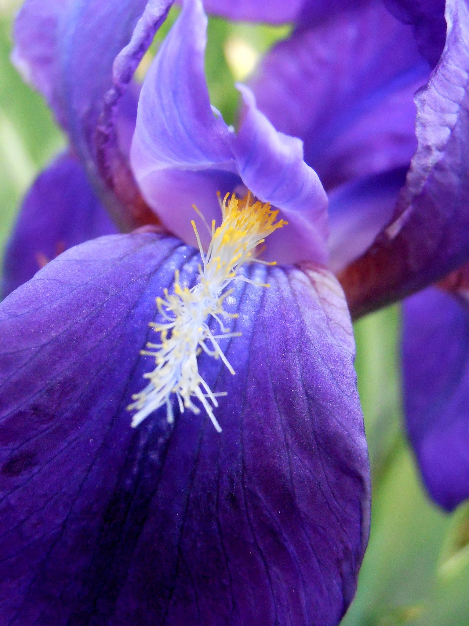 Iris Purple Iris With Yellow Stamens All Rights Reserved Snezana