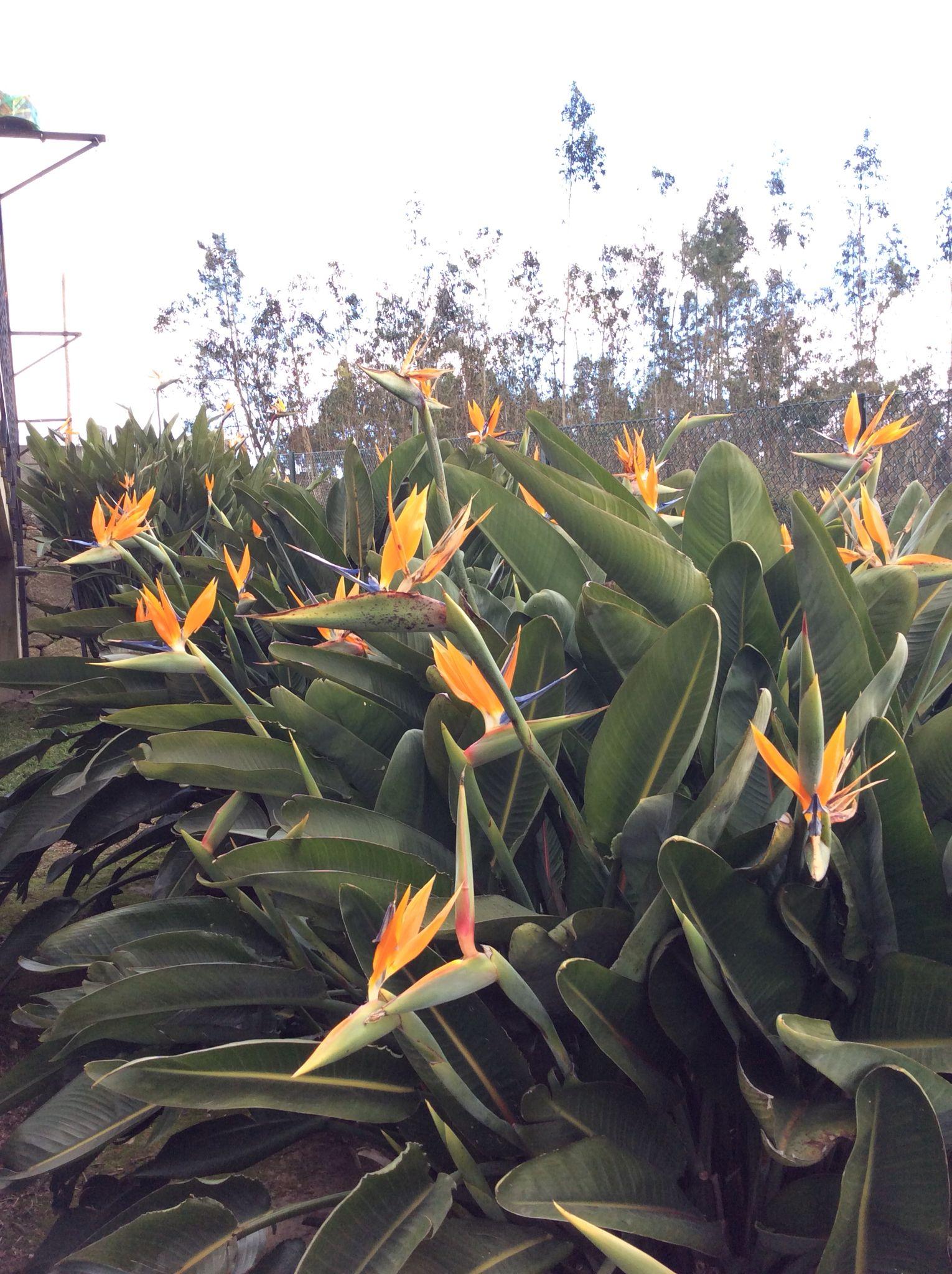 Plantas Estrelicias