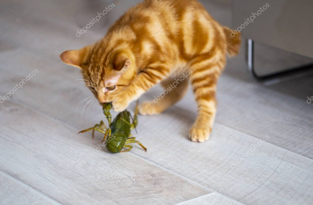 Ginger kitten Bobtail playing with live crabs on a summer day. p - Stock , #AD, #Bobtail, #playing, #Ginger, #kitten #AD #gingerkitten Ginger kitten Bobtail playing with live crabs on a summer day. p - Stock , #AD, #Bobtail, #playing, #Ginger, #kitten #AD #gingerkitten Ginger kitten Bobtail playing with live crabs on a summer day. p - Stock , #AD, #Bobtail, #playing, #Ginger, #kitten #AD #gingerkitten Ginger kitten Bobtail playing with live crabs on a summer day. p - Stock , #AD, #Bobtail, #play #gingerkitten