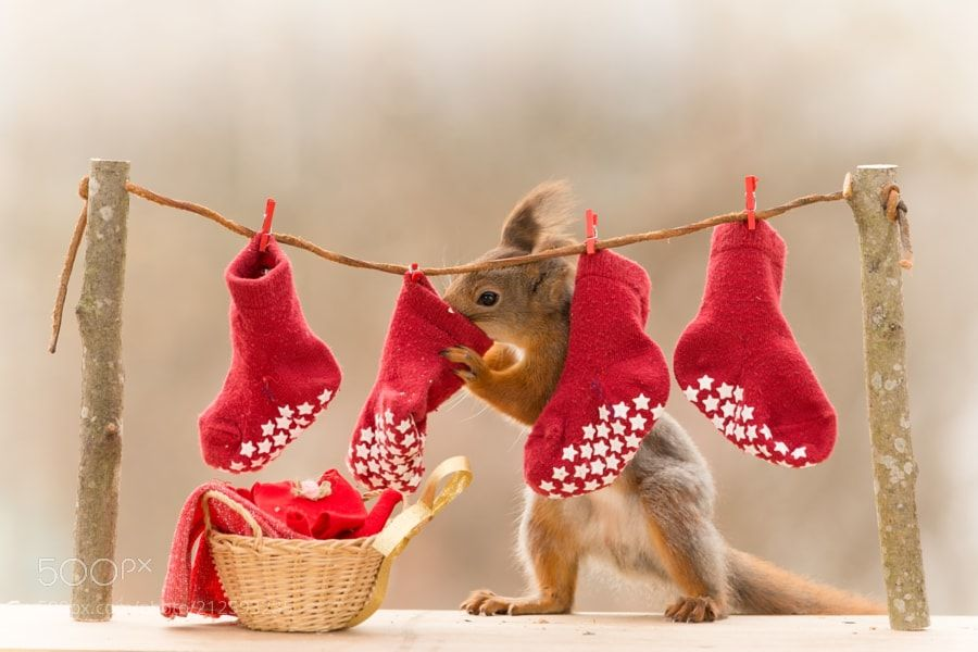 smell of stockings - red squirrel standing  with a laundry line with stockings
