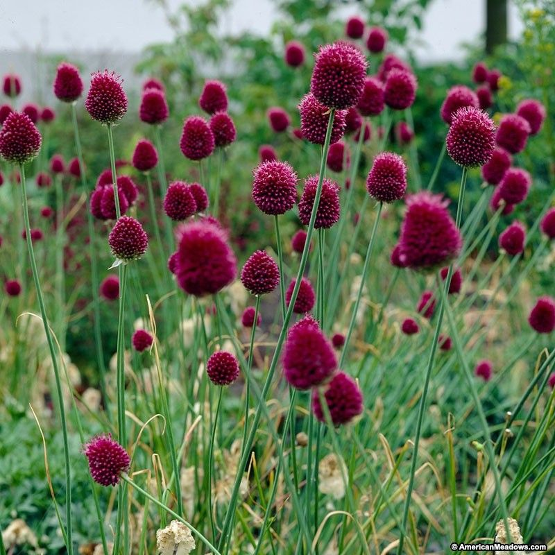 Drumstick Allium Allium Flowers Allium Sphaerocephalon Bulb Flowers