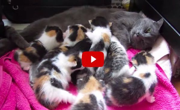 Rescue Cat Mama Nursing Her 8 Kittens 7 Calico Girls 1 Boy Animais