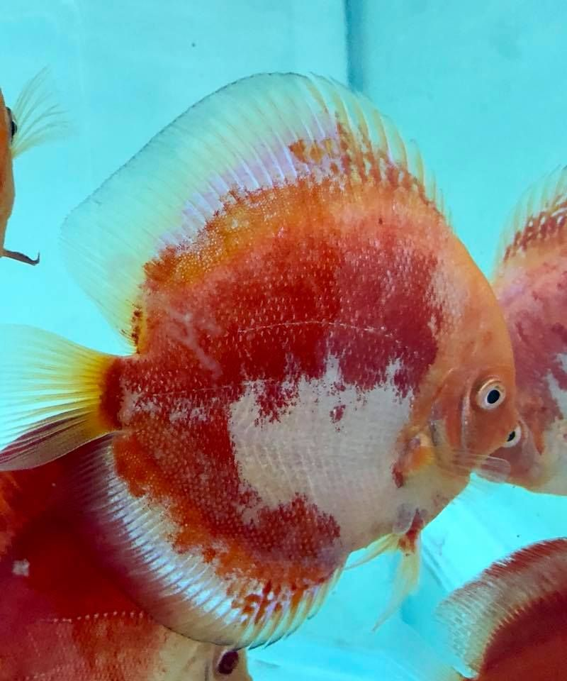 Photo Gallery Of Discus Fish Live Tropical Fish Live Tropical Fish In 2020 Discus Fish Fish Tropical Freshwater Fish