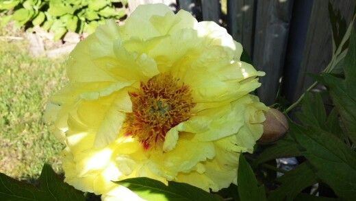 Big yellow flower from my peony tree flowering happiness big yellow flower from my peony tree mightylinksfo