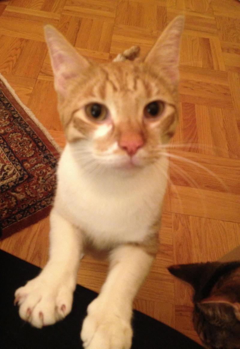 Adopt Sundance On Cat Adoption Cats And Kittens Animals