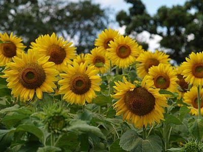 Essay 67 Summer Sunflowers Sunflower Healing Herbs Cold Frame